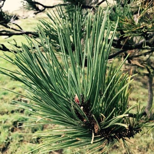 Scots Pine?
